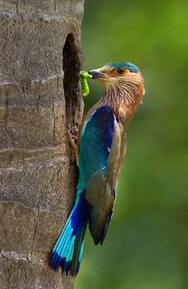 Bird - Indian Roller Bird by najeebkhan2009